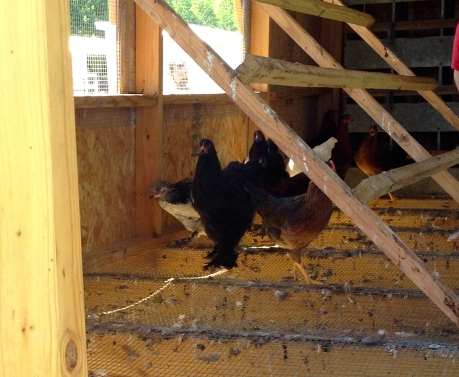 Optimus Prime - the black chicken with the big hairy feet! Poor guy :)