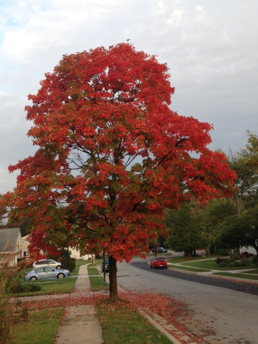 A beautiful tree in my neighborhood.